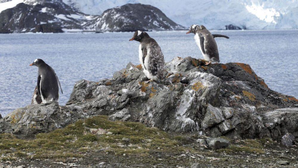 Les Pingouins Vivent L'enfer Avec Une Chaleur Record