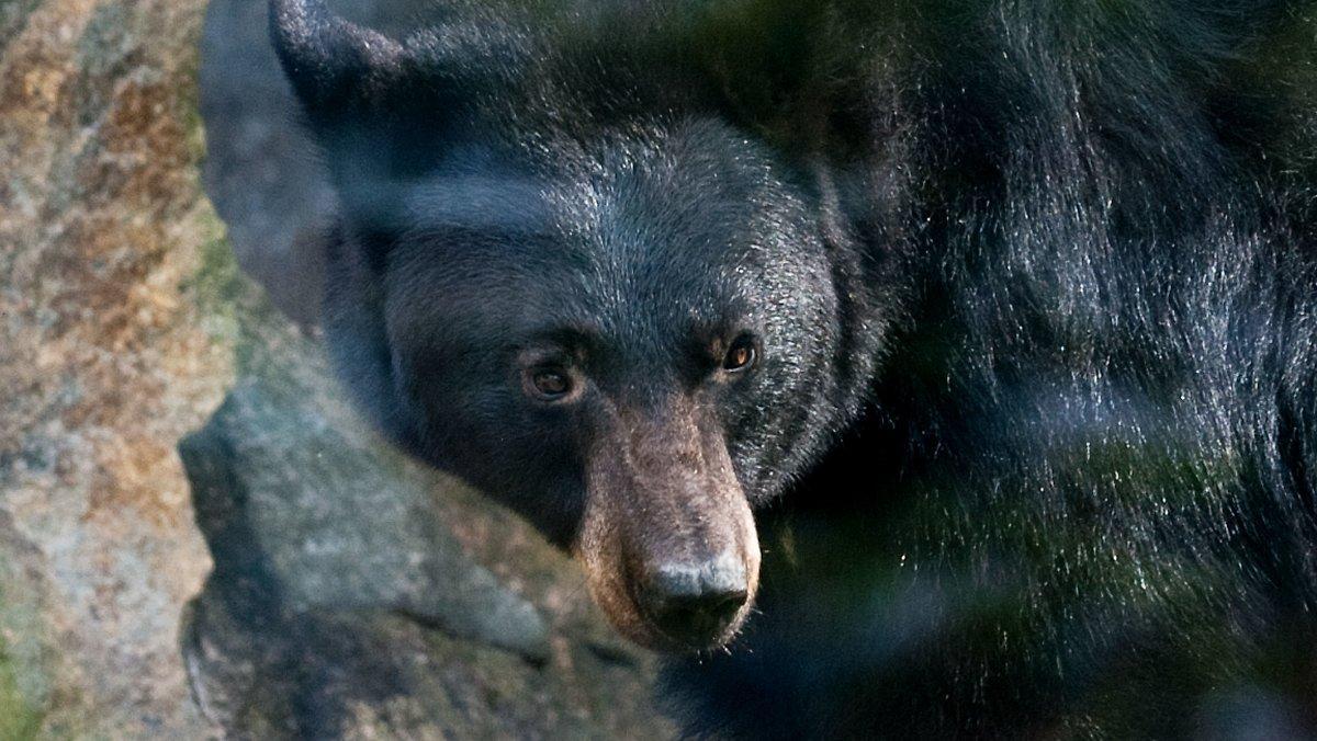 Malheur Au Canada: Une Ours Tue Une Femme Et Son