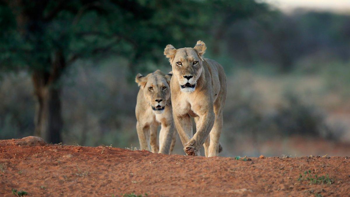 """Une Femme Doit Regarder """"impuissante"""": Les Lionnes Tuent Les Propriétaires"""