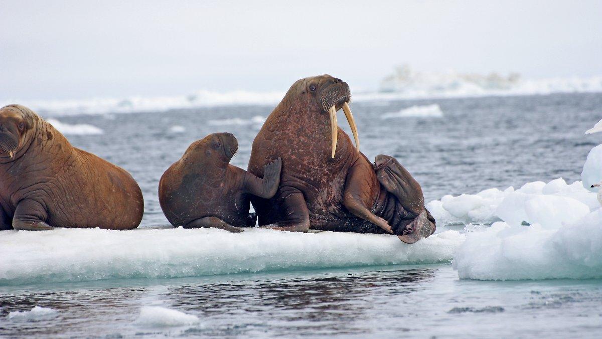 Étude Fracassante De L'arctique: La Glace De La Mer De