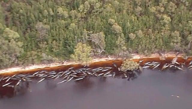 380 globicéphales morts dans le plus grand échouage massif jamais enregistré en Australie;  près de 500 toujours bloqués en Tasmanie