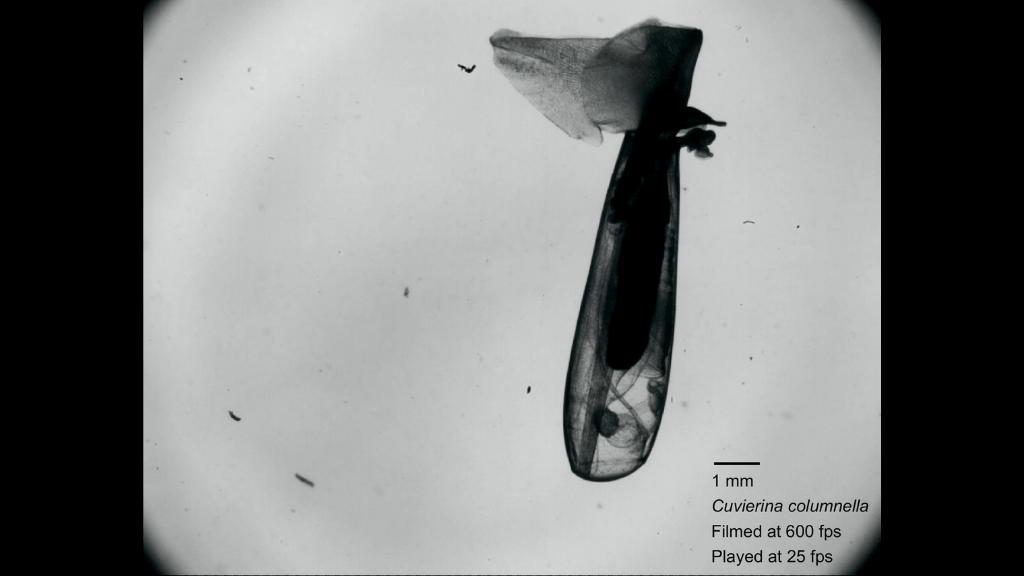 Ces Escargots De Mer Volent Comme Des Papillons, Coulent Comme