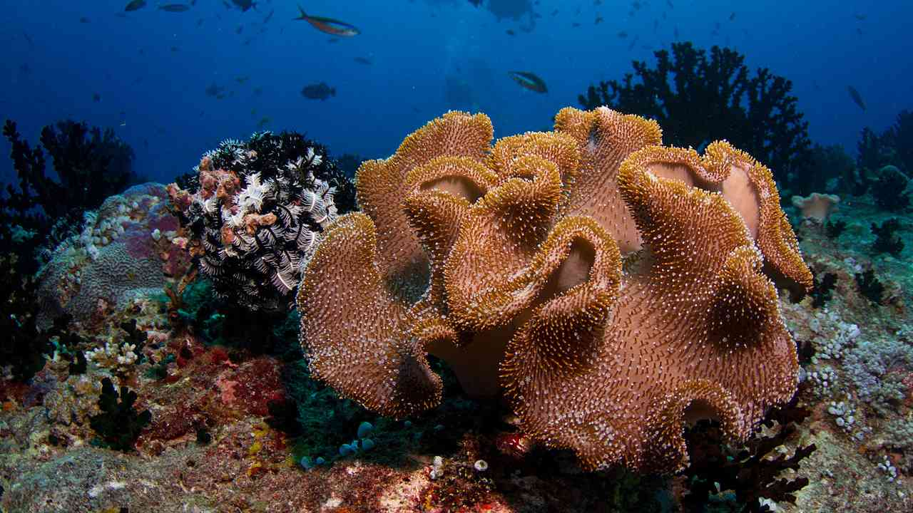 Des Récifs Coralliens Plus Mous Pour Remplacer Les Coraux Durs