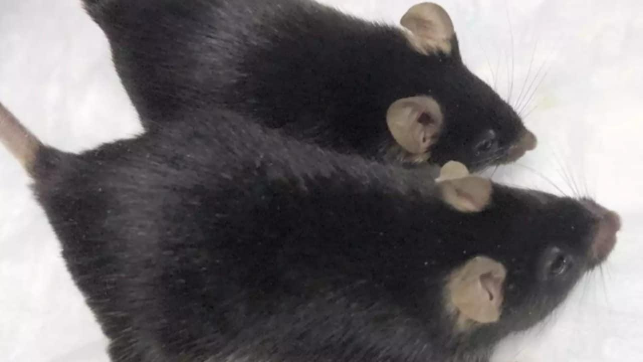 Des souris puissantes génétiquement modifiées s'accrochent à leurs muscles pendant un séjour d'un mois à l'ISS