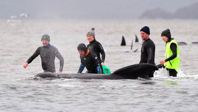 Une baleine solitaire sauvée d'un groupe de carcasses mortes alors que l'Australie signale le plus grand échouage massif jamais enregistré
