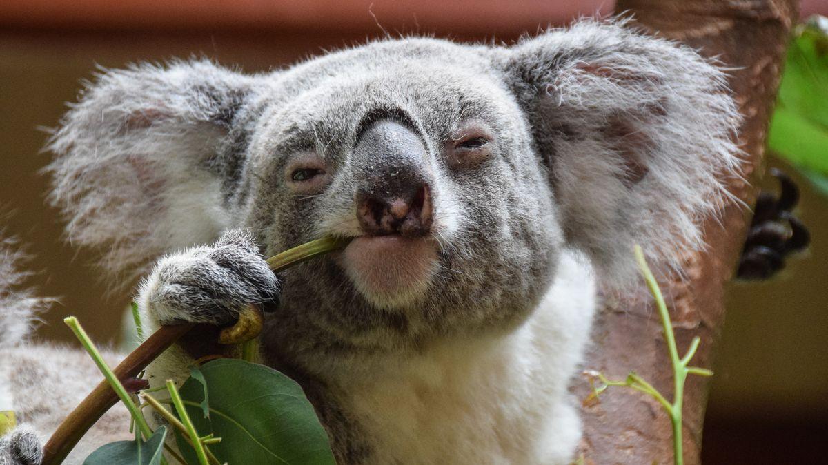 Pour Les Koalas Atteints De Chlamydia, Le Soulagement Est Enfin
