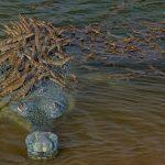 Un Crocodile En Voie De Disparition Fait Monter Sur Le