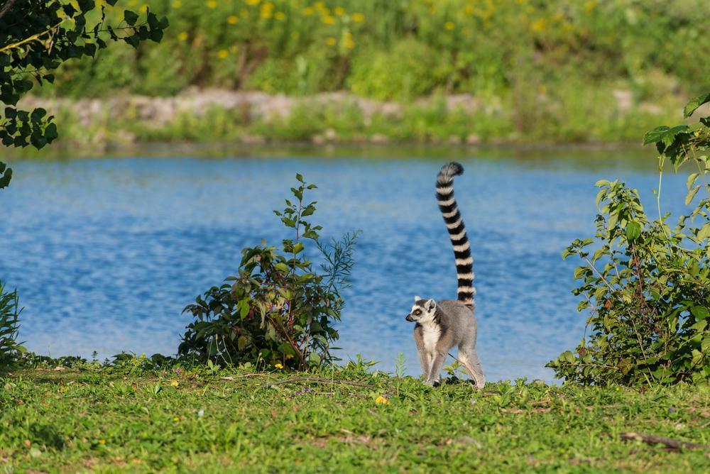 lemuriens de madagascar