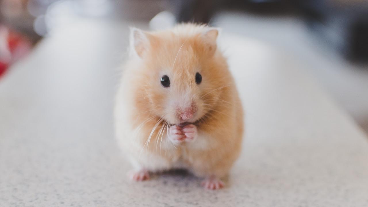 Le favipiravir à fortes doses agit pour freiner le COVID19 chez les hamsters Étude inefficace HCQ