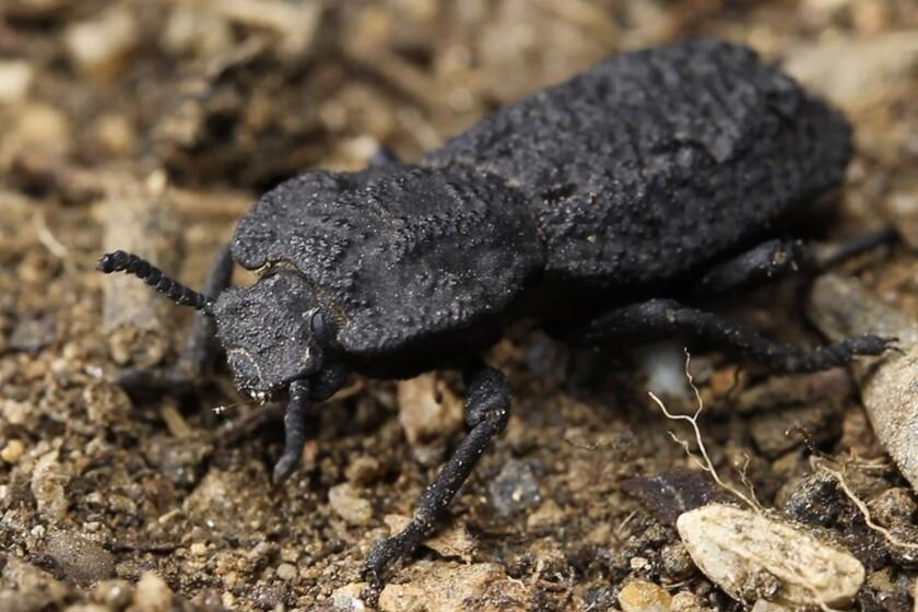 Ce scarabée blindé peut supporter le poids de 39000 personnes: nous venons de découvrir le secret de sa résistance `` diabolique ''