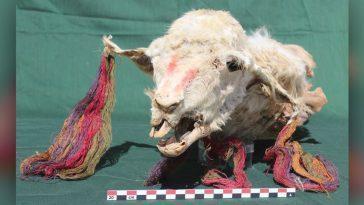 Des Momies De Lama Sacrifiées Découvertes Au Pérou