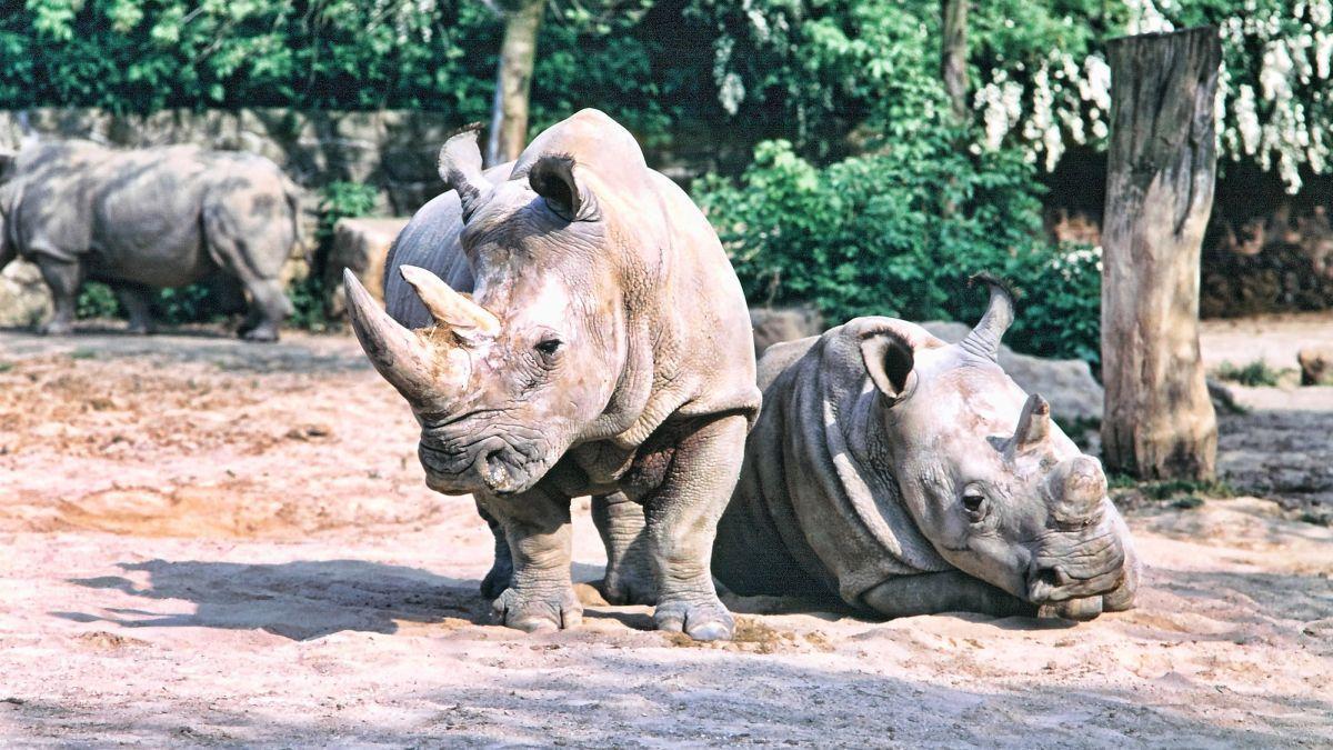 Il Ne Reste Que Deux Rhinocéros Blancs Du Nord. Et