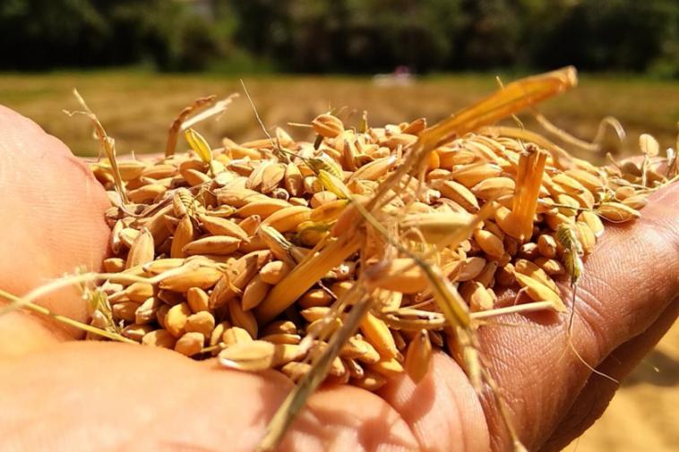 La technologie spatiale au service du blé: telle est l'idée de l'ESA pour que jusqu'à 20% des céréales par an ne se gâtent pas