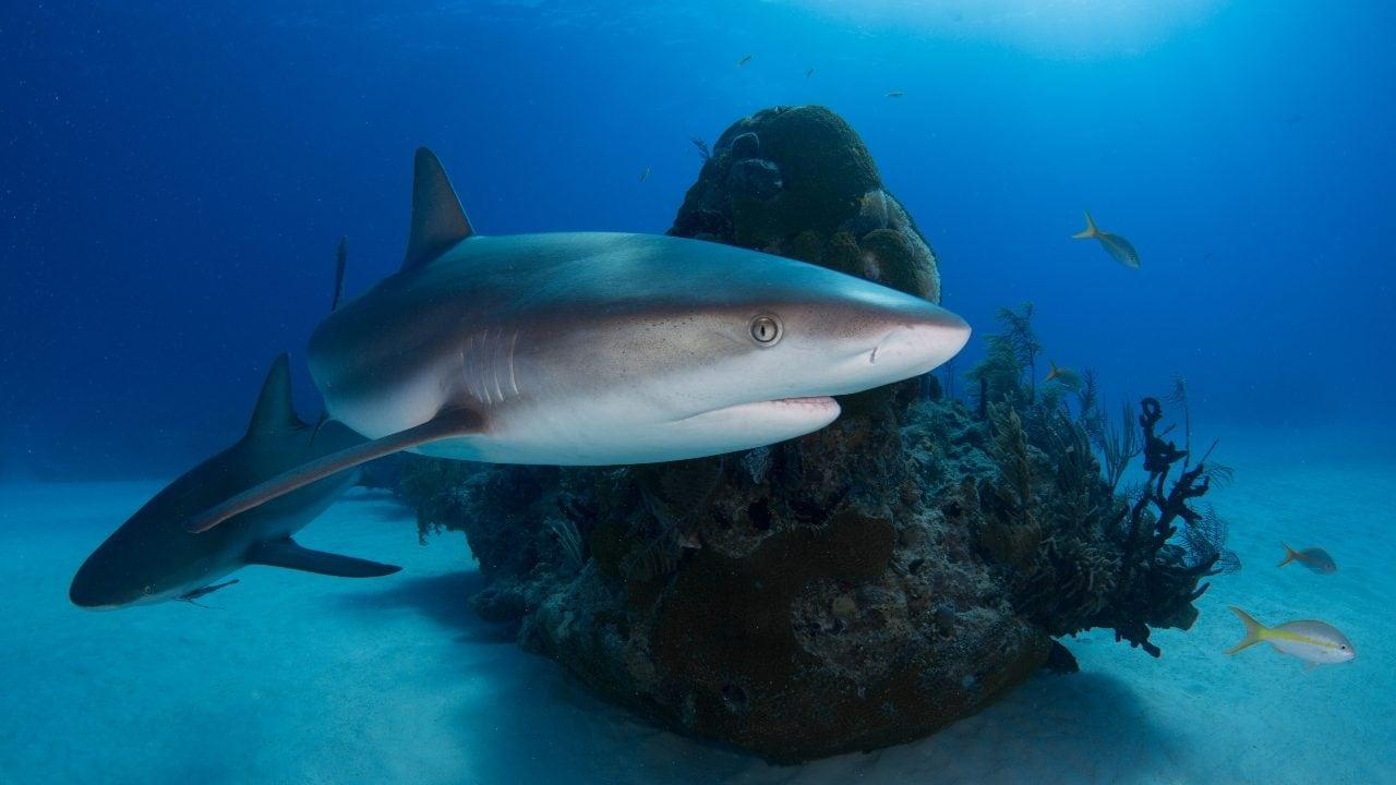 Les fabricants de vaccins contre le coronavirus ne massacrent pas les requins
