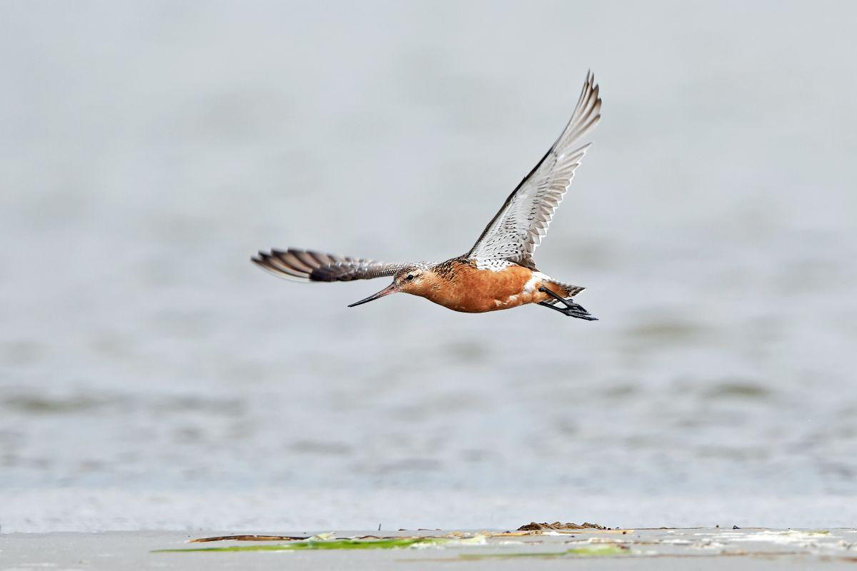 L'oiseau Parcourt 7500 Miles Sans Escale, Battant Le Record Du