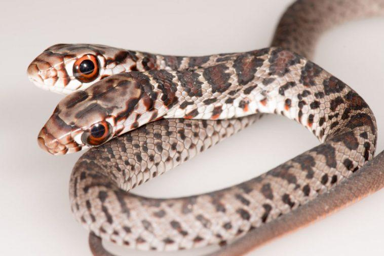 Rare Serpent à 2 Têtes Découvert Par Un Chat Domestique