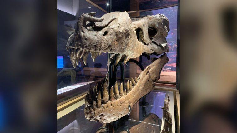 Sue Le T.rex A Eu Une Infection Terriblement Douloureuse à