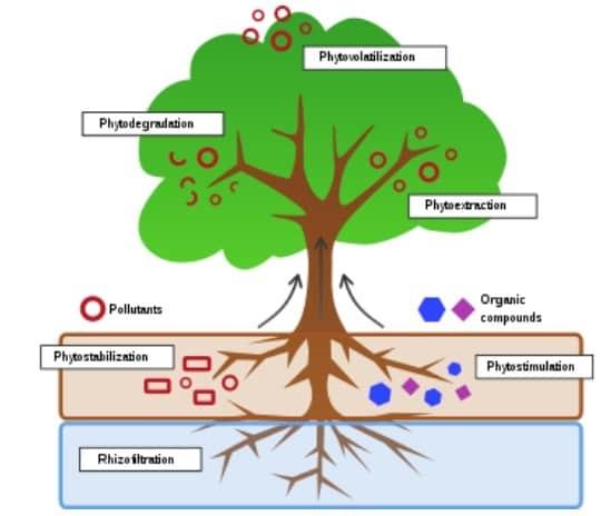 Phytoremédiation.  Image: Auteur fourni