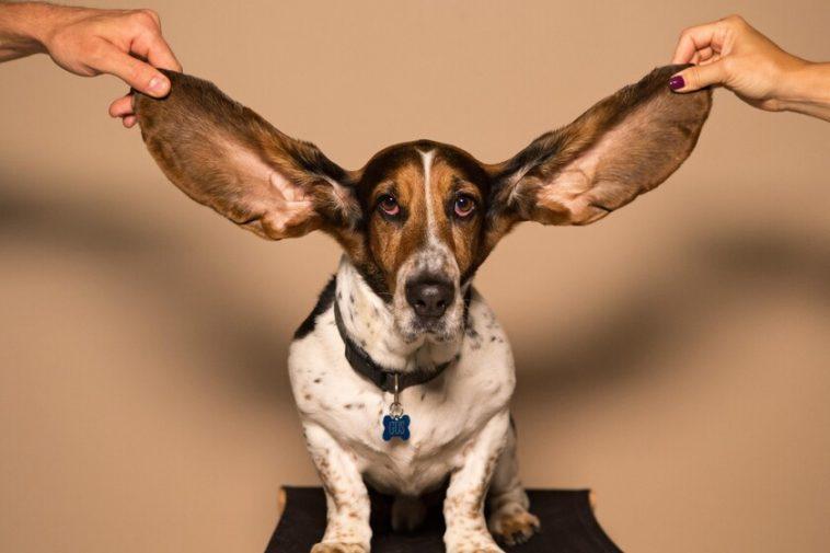 Nos oreilles gardent une «histoire de navigation» biochimique de notre corps: c'est ainsi que notre cérumen sait si nous sommes stressés