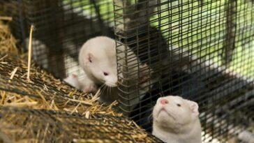 Le Gouvernement Français Confirme L'existence Du Coronavirus Dans Un élevage