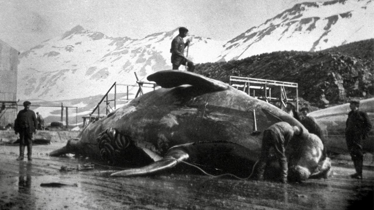 Ouvriers disséquant une carcasse de baleine en Antarctique, vers 1935. Archives Hulton via Getty Images