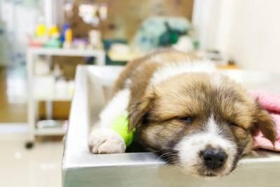 parvovirus chez les chiens