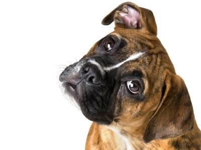comment sont les chiens boxer
