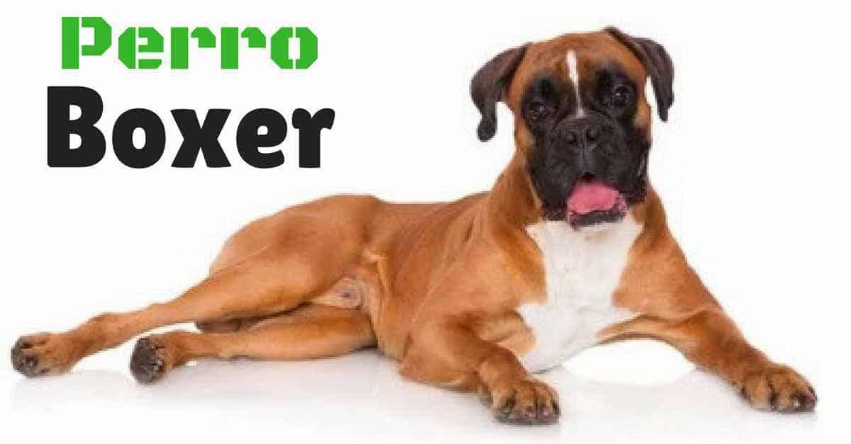 Boxer, la race de chien la plus ludique