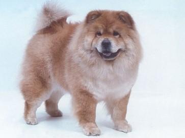 meilleures races de chiens pour chaque style de vie