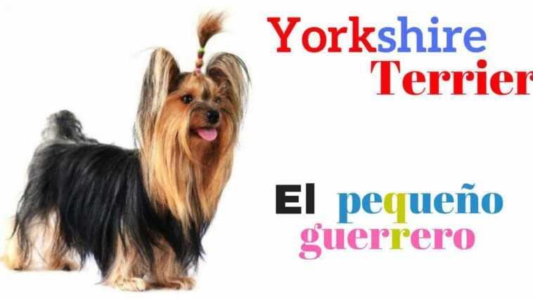 Yorkshire Terrier: le petit guerrier