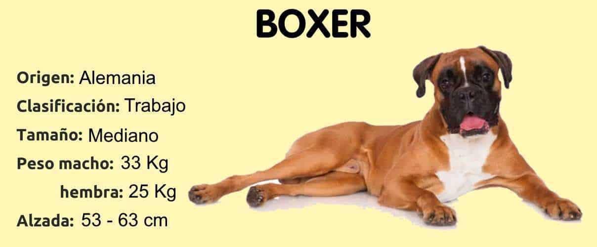 Chien de race boxer