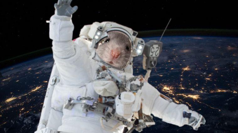Des Souris Transportées Dans L'espace Par Jaxa Et Spacex Pointent