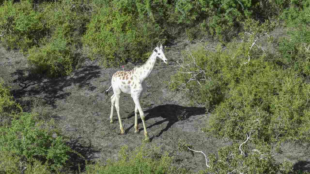 Girafe blanche au Kenya équipée d'un dispositif de suivi GPS dans le but de tenir les braconniers à distance