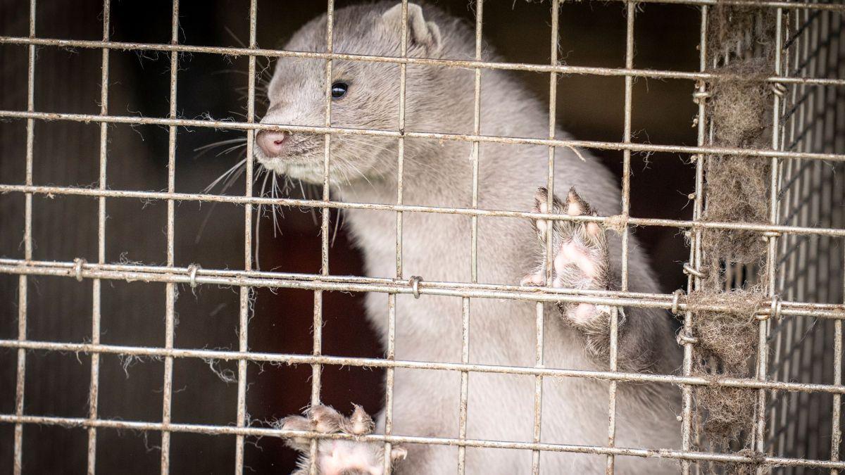 Le Danemark Va Abattre Tous Les Visons D'élevage Pour Arrêter