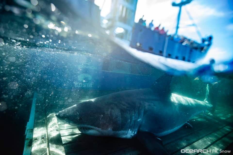 Le Grand Requin Blanc Unama'ki Repéré Au Sud De Miami