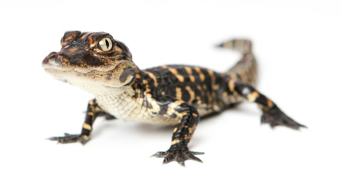 Les Alligators Peuvent Repousser La Queue, Surprenants Scientifiques
