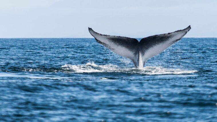 Les Baleines Bleues De L'antarctique Reviennent En Géorgie Du Sud