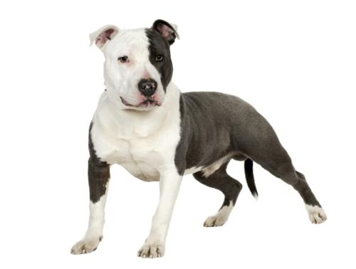 races de chiens de garde