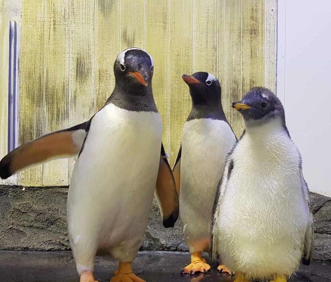 poussin pingouin gay