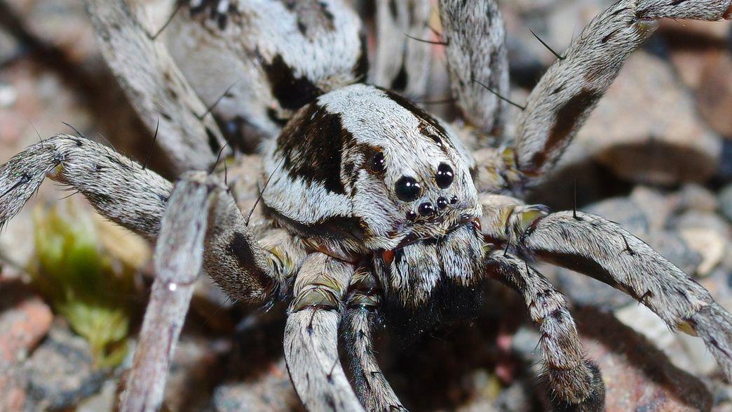 Une Araignée Loup Rare Présumée éteinte Apparaît Sur Une Base Militaire