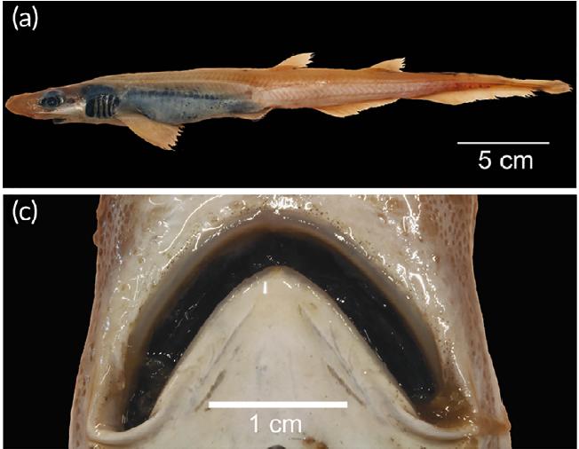 Un gros plan du corps du requin sans peau et de la bouche édentée