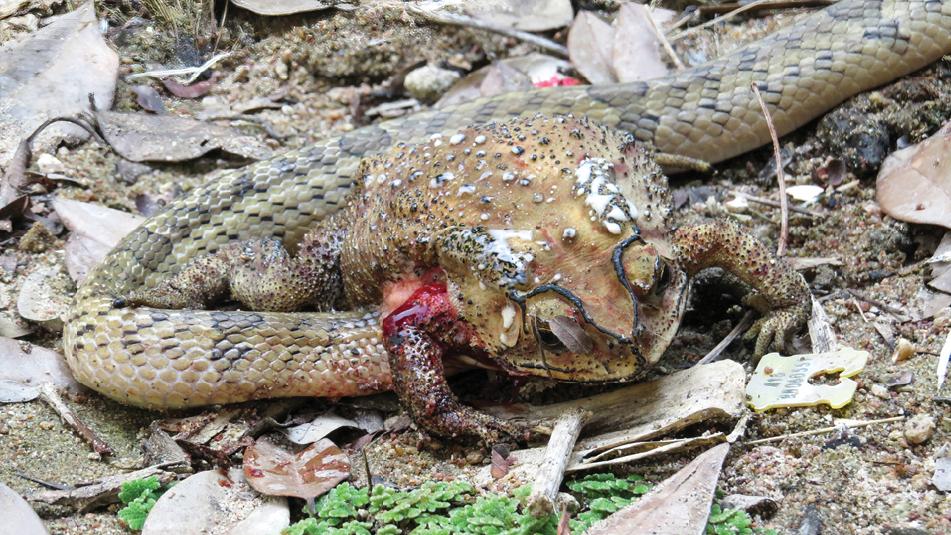 Un serpent kukri à petites bandes avec sa tête insérée dans le côté droit de l'abdomen d'un crapaud asiatique à points noirs, afin d'extraire et de manger les organes.  Le tissu d'un poumon effondré (ci-dessus, à gauche), et éventuellement le tissu adipeux, est recouvert d'un liquide clair qui mousse en se mélangeant aux bulles d'air du poumon.  La partie supérieure de la jambe avant est également recouverte de sang moussant, mélangé à des bulles d'air provenant du poumon effondré.