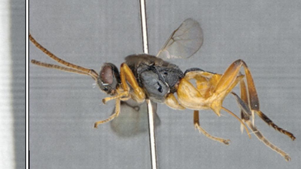 La guêpe parasitoïde microgastrine nouvellement décrite Microgaster godzilla