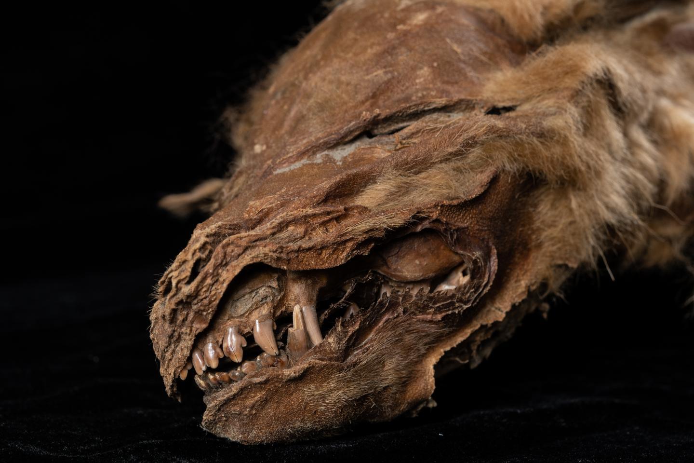 Un gros plan de la tête du chiot loup révèle ses dents.