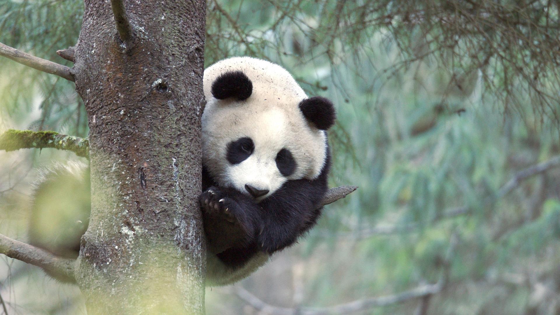 Panda géant de trois ans dans un arbre dans le Wolong Panda Center, Chine.