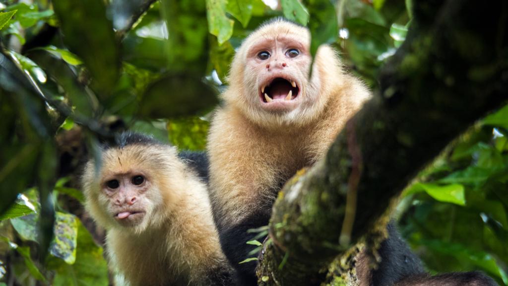 Deux singes capucins à face blanche dans un arbre