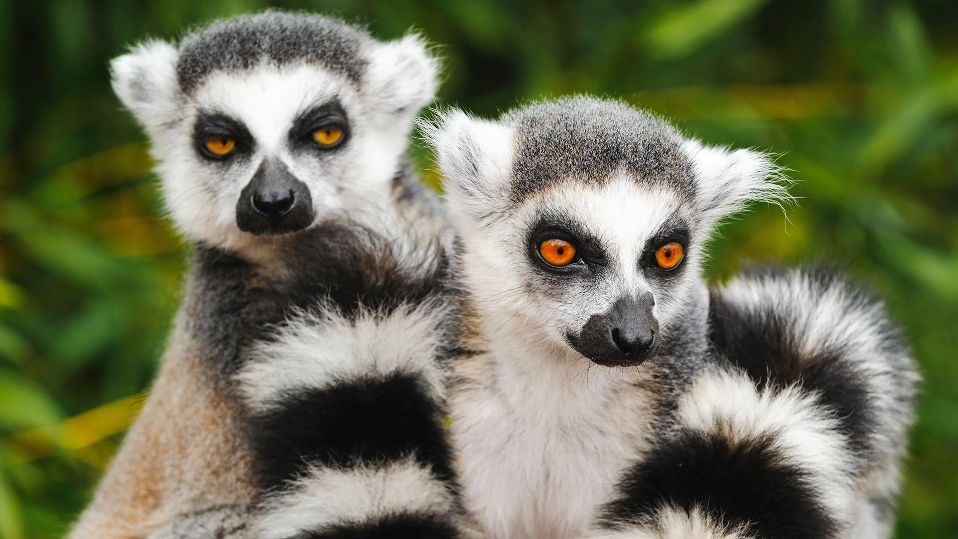 Deux lémuriens à queue annelée sont assis ensemble.