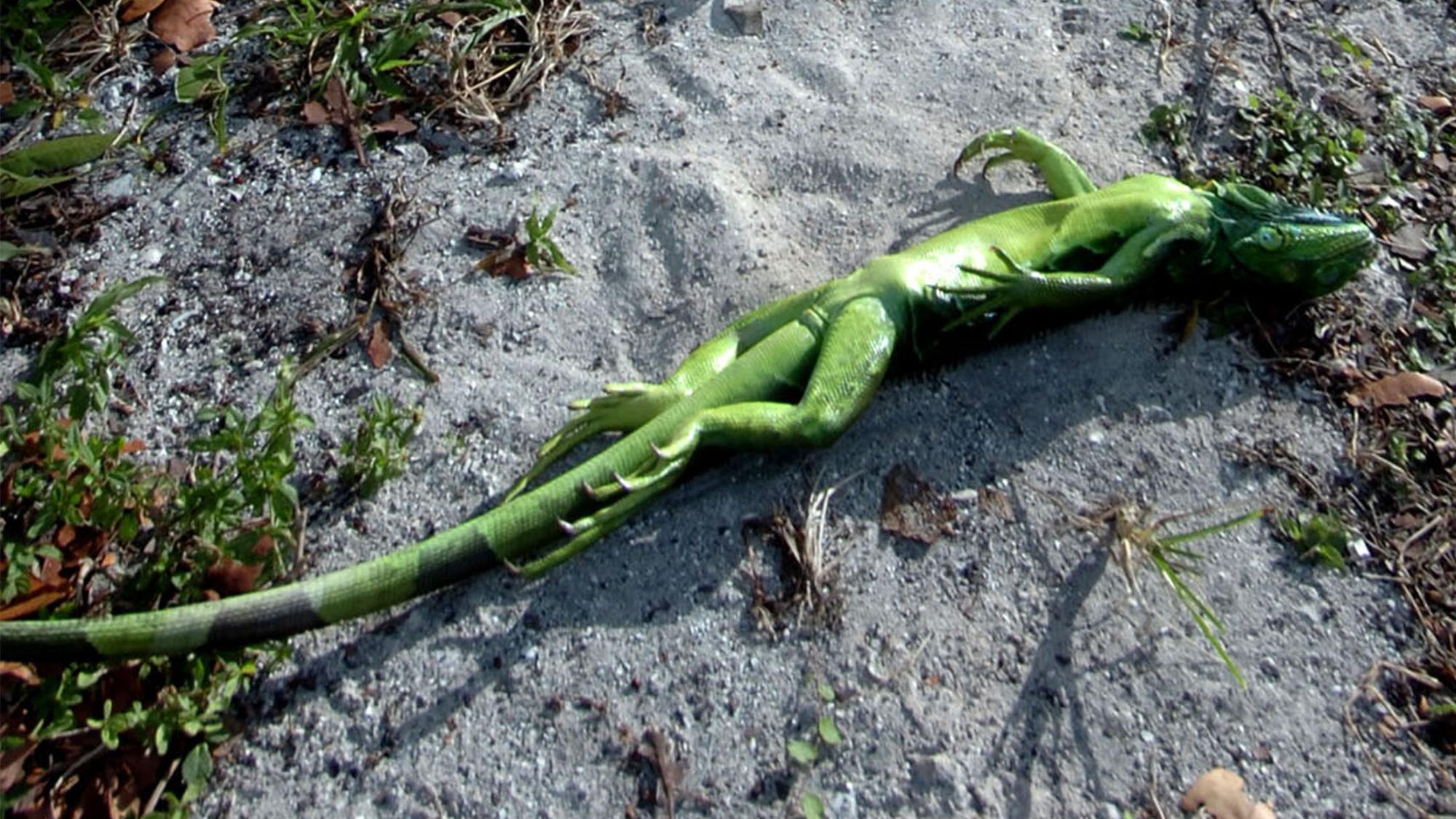 Un iguane étourdi par le froid se trouve sur le ventre à Key Biscayne, en Floride, lors d'une vague de froid inhabituelle en 2008.