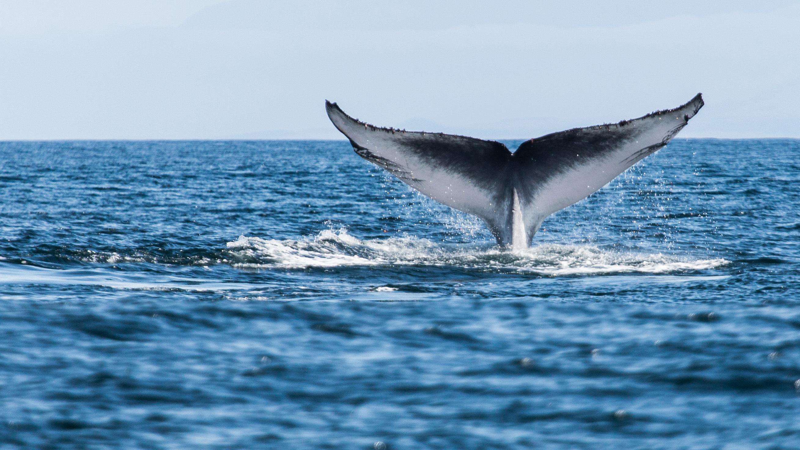 Baleine bleue (Balaenoptera musculus) queue de douve exposée lors d'une plongée.