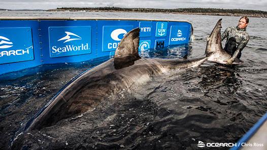 Cet énorme grand requin blanc, nommé Nukumi, a probablement environ 50 ans.  Elle a été découverte au large des côtes de la Nouvelle-Écosse.